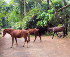 horses wander a jungle road